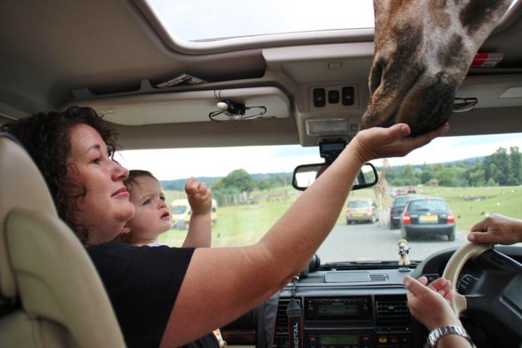 safari-park-giraffe-in-car